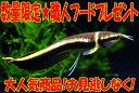 【送料無料】ブラックアロワナ ワイルド《7〜8cm前後》 ★餌付★