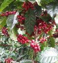 \今月のお勧めコーヒー!/ニカラグア レッドブルボンオーガニックエルボスケ・サンタマルア農園有機認証MAYACERT【5…