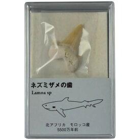 化石 サメの歯    スチロールケース入