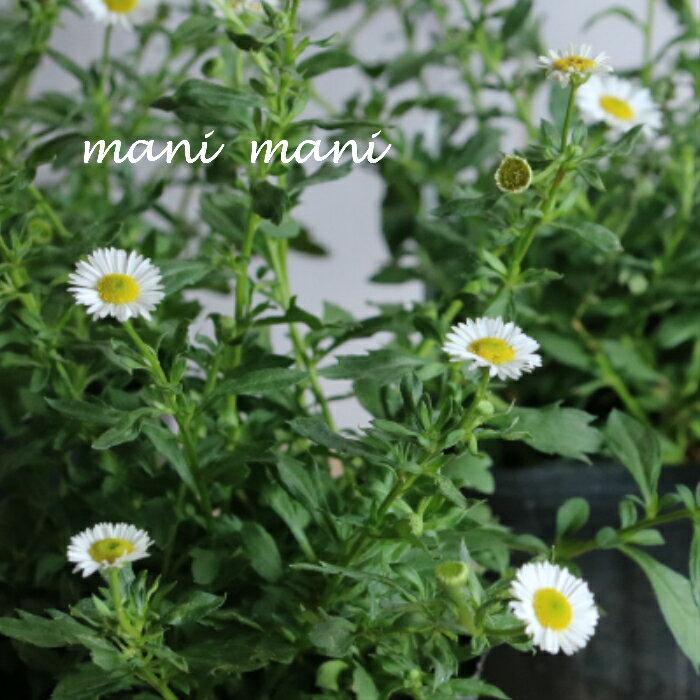 色が変わる!エリゲロン「スパニッシュデージー」3.5寸ポット苗 寄せ植え 庭植え 花苗 花壇 苗 宿根草