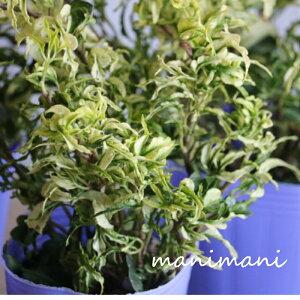 ヘデラ 「雪の妖精」2.5寸ポット苗 寄せ植え リース 花苗 室内 屋外 花壇 インテリア