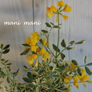 コロニラ・バレンティナ「 バリエガータ」 2.5〜3.5寸ポット苗 花苗 寄せ植え 庭植え カラーリーフ