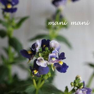 宿根ネメシア ネシア「ダークブルー」3.5寸ポット苗 甘い香り 花苗 庭植え 寄せ植え 苗 宿根草