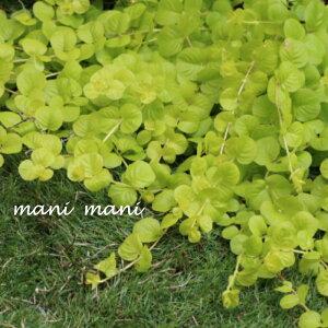 リシマキア「オーレア」3寸ロングポット苗 寄せ植え リース 花苗 リーフ 花壇 グランドカバー