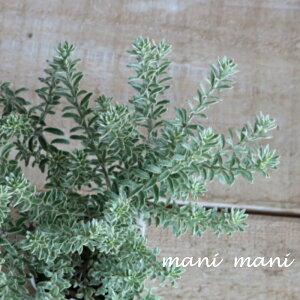 ウエストリンギア「スモーキーホワイト」 2.5〜3寸苗 寄せ植え リース 花苗 宿根草