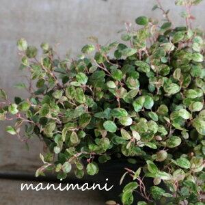 ワイヤープランツ 「スポットライト」3寸ポット苗 寄せ植え リース 花苗 花壇 ガーデニング