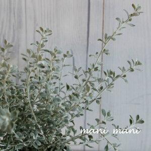 オレアリア「リトルスモーキー」 2.5〜3寸苗 寄せ植え クリスマス 花苗 宿根草 花壇