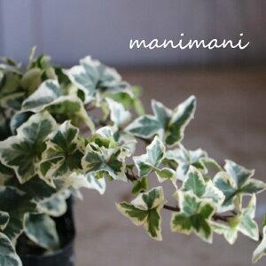 【新品種】ヘデラ 「きららの森」3寸ポット苗 寄せ植え リース 花苗 室内 屋外 花壇 インテリア