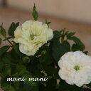 ミニバラ 「グリーンアイス」2.5〜3.5寸ポット苗 クラシックカラー アンティークカラー 人気 育てやすい 四季咲…