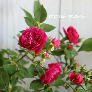 香るミニバラ「スイートチャリオット」2.5〜3.5寸苗 薔薇 花苗