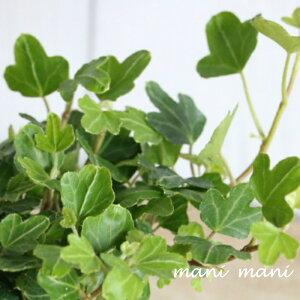 ヘデラ「ダックフット」2.5〜3.5寸ポット苗 寄せ植え リース クリスマス 正月 花苗