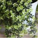 フォステリー系クレマチス 「ペトリエイ」3寸ロングポット苗 旧枝咲き 弱剪定 花付き抜群 ハンギング 耐寒性