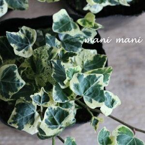 ヘデラ「カノン」3寸ポット苗 寄せ植え リース 花苗 リーフ 観葉植物 室内 インテリア