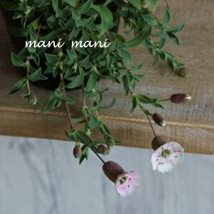 シレネ ユニフローラ「シェルピンク」3.5寸ポット苗 寄せ植え 庭植え 花苗