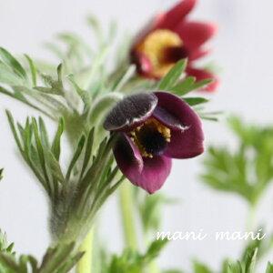 オキナグサ「ワイン」3.5寸ポット苗 花苗 寄せ植え 苗 花壇 寄せ植え ガーデニング 山野草