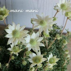 小輪多花性フランネルフラワー「 天使のウィンク」3.5寸ポット〜3.5寸ロングポット苗 花苗 寄せ植え 庭植え カラーリーフ