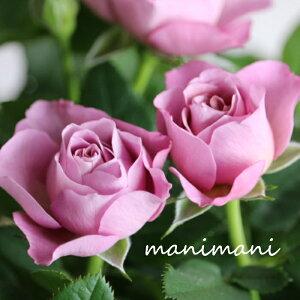 【希少】ミニバラ パレードシリーズ「ラミー」3.5寸ポット苗 薔薇 花苗 アンティーク シック