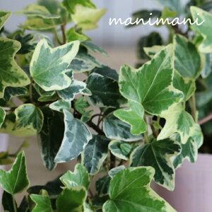 斑入りヘデラ「ホワイトダック」2.5〜3.5寸ポット苗 寄せ植え リース クリスマス 正月 花苗