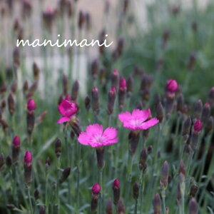 なでしこ ダイアンサス「千島なでしこ」3.5寸ポット苗 苗 寄せ植え 庭植え 花苗 花壇 宿根草