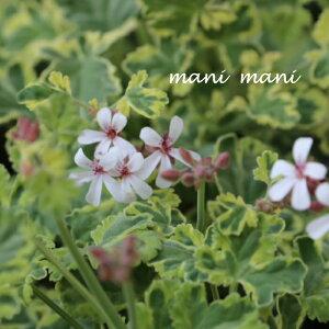 宿根ナツメグゼラニウム「 マーブルレモン」3寸ポット苗 斑入り 花苗 寄せ植え 庭植え カラーリーフ
