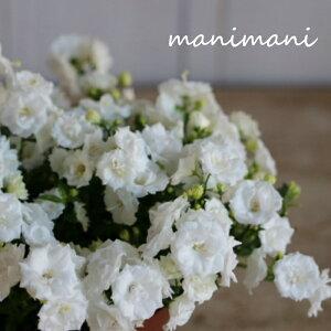 カンパニュラ「 ホワイトワンダー」3.5寸鉢 花苗 寄せ植え 庭植え カラーリーフ