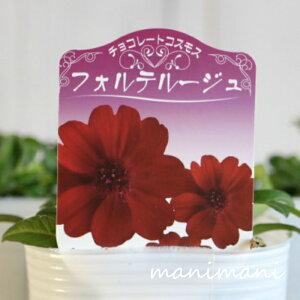 チョコレートコスモス「フォルテルージュ」3寸ロングポット苗 寄せ植え 花苗 花壇