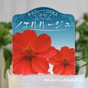 チョコレートコスモス「ノエルルージュ」3寸ロングポット苗 寄せ植え 花苗 花壇