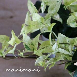 ヘデラ 「雪の踊子」3寸ポット苗 広野園芸 寄せ植え リース 花苗 室内 屋外 花壇 インテリア