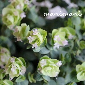 ライムグリーンの花オレガノ「 ロタンダフォーリア」2.5〜3.5寸ポット苗 花苗 寄せ植え カラーリーフ ハンギング