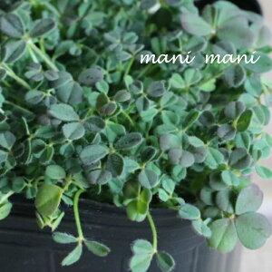 トリフォリウム「バニーズ」3寸ポット苗 珍しい 寄せ植え 庭植え 花苗