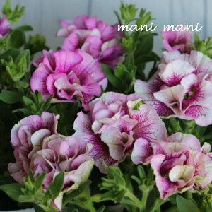 八重咲きペチュニア 「ブリリアントブーケ」3.5寸ポット苗 寄せ植え 花壇 ハンギング 花苗
