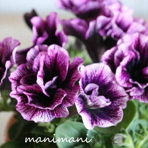 ペチュニアVIVA「シュガープラム」3.5寸ポット苗 寄せ植え 庭植え 花苗