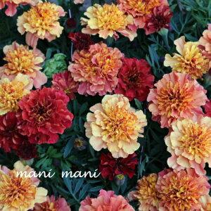産地直送 フレンチマリーゴールド「ストロベリーブロンド」3.5寸ポット苗 2苗セット 寄せ植え 庭植え 花苗 リース ハンギング 花壇