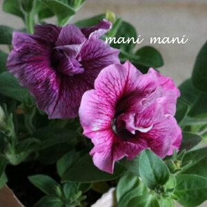ペチュニアVIVA「ローズベイン」3.5寸ポット苗 寄せ植え 庭植え 花苗