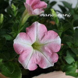 ペチュニアVIVA「ピンクストライプ」3.5寸ポット苗 寄せ植え 庭植え 花苗