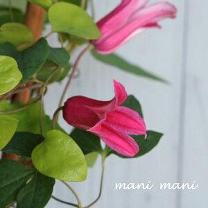 チューリップ咲きクレマチス「プリンセスダイアナ」6号鉢 テキセンシス系 新枝咲き 強剪定 鉢花 母の日 プレゼント