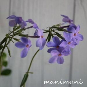 フロックス「シアウッドパープル」3.5寸ポット苗 ツルハナシノブ 花苗 苗 寄せ植え リース ハンギング