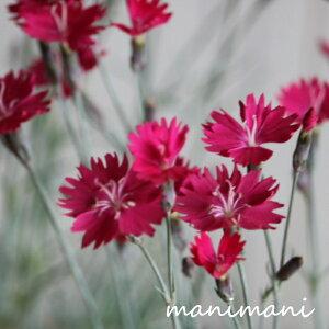 なでしこ ダイアンサス「ウィックドウィッチ」3寸ポット苗 苗 寄せ植え 庭植え 花苗 花壇 宿根草