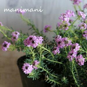 エティオネマ・モロッコナズナ「ピンク」3ポット苗 寄せ植え 庭植え 花苗 花壇 ロックガーデン