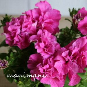 ペチュニアVIVA「ローズピンク」3.5寸ポット苗 寄せ植え 庭植え 花苗