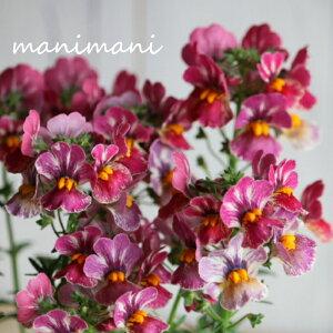 宿根ネメシア ネシア「トゥッティフルッティ」3.5寸ポット苗 甘い香り 花苗 庭植え 寄せ植え 苗 宿根草
