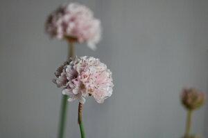 アルメリア「サクラスティック」3〜3.5寸ポット苗 耐寒性 花苗 寄せ植え
