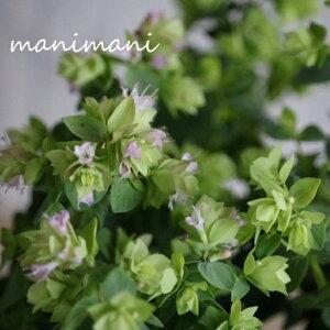 オレガノ「 ディングルフェアリー」2.5〜3.5寸ポット苗 花苗 寄せ植え カラーリーフ ハンギング