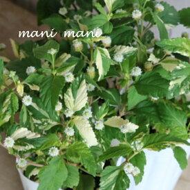 【新品種】リッピア スイートメキシカンハーブ「フリップ フロップ」2.5〜3寸ポット苗 珍しい 希少 斑入り 香り ハーブ 寄せ植え リース