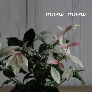 ハツユキカズラ「ジューンブライド」3寸ポット苗 寄せ植え 花苗 リーフ 花壇 グランドカバー