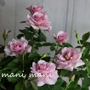 ミニバラ 「ウィッシュアイ」3寸ポット苗 育てやすい 四季咲き 丈夫 花苗 苗 寄せ植え