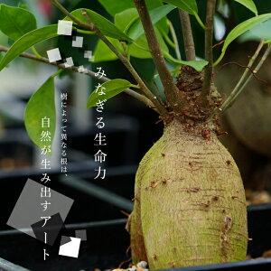 常緑樹「がじゅまる」鉢植え