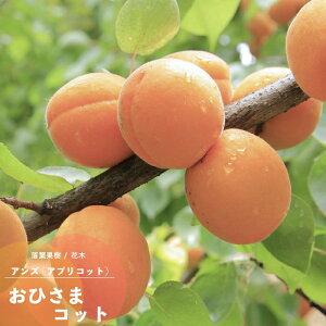 果樹苗 アンズ 苗木 おひさまコット (サニーコット) 1年生以上 接木 4.5号(直径13.5cm) ポット苗 果樹苗木 落葉樹 あんず