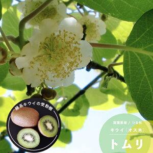 果樹苗 キウイ 苗木 キウイ オス木 トムリ 13.5cm (4.5号) ポット苗 果樹苗木 つる性 落葉樹