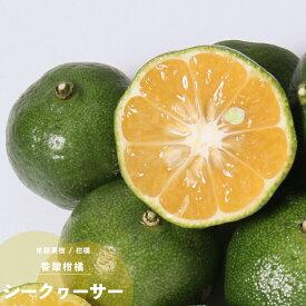 果樹苗 柑橘類 苗木 シークヮーサー 1年生 挿し木 4.5号(直径13.5cm) ポット苗 果樹苗木 常緑樹シークワーサー
